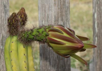 Cactus1H.JPG